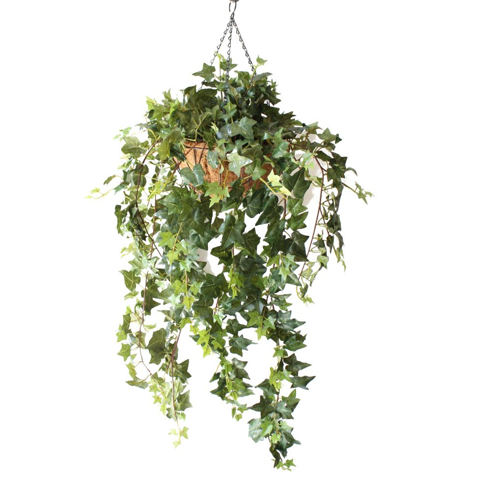 DOUBLE IVY VINE 1M COMPLETE IN HANGING BASKET